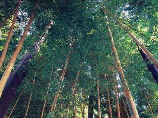 【高解像度】伸びる竹林
