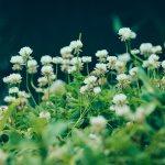 【高解像度】群生する白詰草(シロツメクサ)(3パターン)