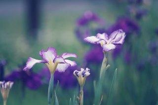 【高解像度】静かな雰囲気の花菖蒲(3パターン)