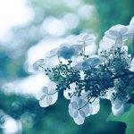 【高解像度】白紫陽花の裏側(3パターン)