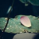 【高解像度】葉の上の散蓮華(2パターン)