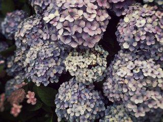 【高解像度】淡い色の紫陽花
