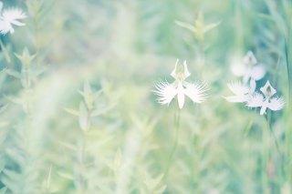 【高解像度】草むらに咲くサギソウ(3パターン)