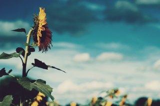 【高解像度】ひまわり畑を見つめる向日葵(3パターン)