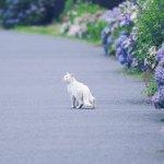 【高解像度】紫陽花と白猫(3パターン)