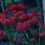 【高解像度】竹林に咲く彼岸花(3パターン)