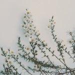 【高解像度】上を向く孔雀草(クジャクソウ)(3パターン)