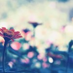 【高解像度】淡い雰囲気の百日草(ジニア)(3パターン)