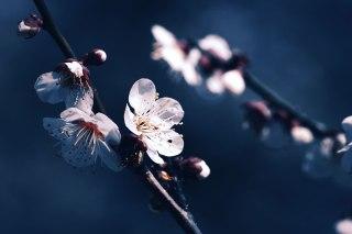 【高解像度】ひと枝の白梅(3パターン)