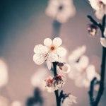 【高解像度】白梅の花(3パターン)