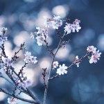【高解像度】降る光と十月桜(ジュウガツザクラ)(3パターン)