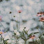 【高解像度】川辺の秋桜(コスモス)(3パターン)