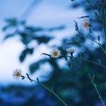 【高解像度】3つの白い花(3パターン)