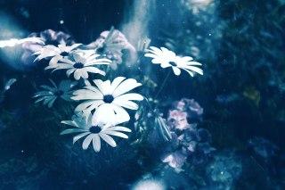 【高解像度】密やかに咲く白いマーガレット(3パターン)