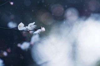 【高解像度】一枝の白梅