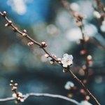 【高解像度】蕾をつける梅の木(3パターン)