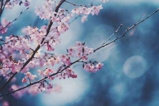 【高解像度】伸びやかな啓翁桜(ケイオウザクラ)(3パターン)