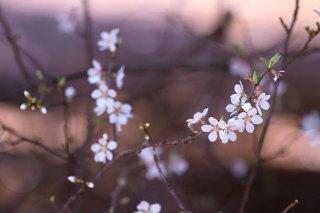【高解像度】点々と咲く山桜桃梅(ユスラウメ)(3パターン)