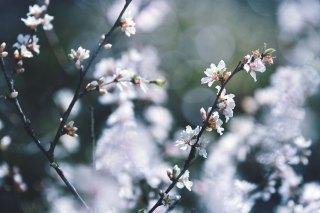 【高解像度】落ち着いた雰囲気の山桜桃梅(ユスラウメ)(3パターン)