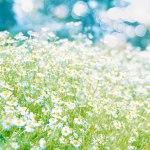 【高解像度】爽やかなカモミールの花畑(3パターン)