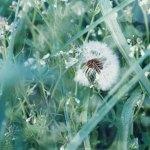 【高解像度】種が欠けたタンポポの綿毛(3パターン)