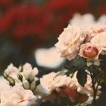 【高解像度】ピンクと赤の薔薇(バラ)(3パターン)
