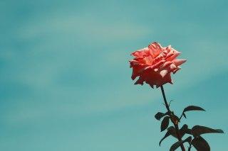 【高解像度】空を見上げる薔薇(バラ)(3パターン)