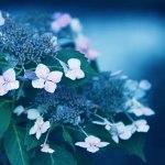 【高解像度】咲き初めの紫陽花(アジサイ)(3パターン)