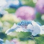【高解像度】キラキラした紫陽花(アジサイ)(3パターン)