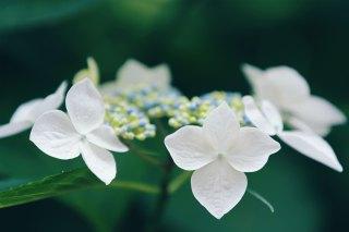 【高解像度】緑の中に咲く紫陽花(アジサイ)(3パターン)
