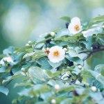 【高解像度】清々しい夏椿(ナツツバキ)(3パターン)