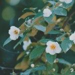 【高解像度】鮮やかに白い夏椿(ナツツバキ)(3パターン)
