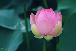 【高解像度】蓮の蕾(ハス)(3パターン)
