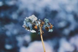 【高解像度】枯れゆく紫陽花(アジサイ)(3パターン)