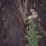 【高解像度】樹の根元に咲くハルジオン(2パターン)