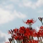 【高解像度】秋の空と彼岸花(3パターン)