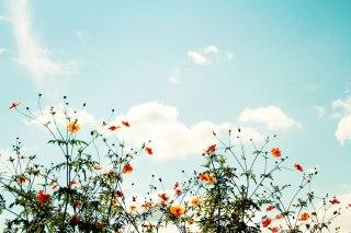 【高解像度】秋空に揺れるキバナコスモス(3パターン)