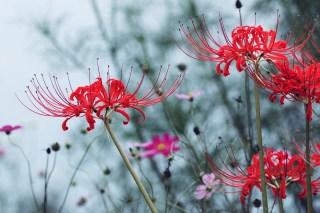 【高解像度】コスモス畑に咲く彼岸花(3パターン)