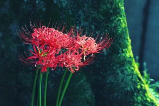 【高解像度】苔むした木陰に咲く彼岸花(3パターン)