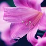 【高解像度】百合のようなピンク色の花(3パターン)