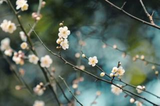 【高解像度】点々と咲く白梅