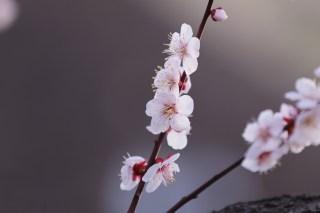 【高解像度】並んで咲く白梅