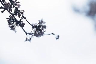 【高解像度】曇天と枝垂れ桜(シダレザクラ)(3パターン)