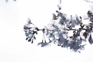 【高解像度】光に透けるひと枝の桜(サクラ)(3パターン)