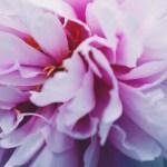 【高解像度】重なる牡丹の花弁(ボタン)(3パターン)