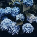 【高解像度】蔦の絡まる紫陽花(アジサイ)(3パターン)