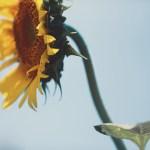 【高解像度】向日葵の横顔(ヒマワリ)(3パターン)