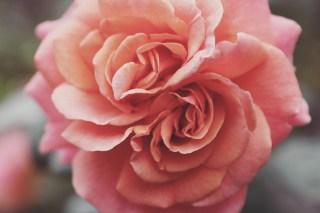 【高解像度】双子の薔薇・アップ(バラ)(3パターン)