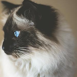 Beauté et vitalité du poil pour chat