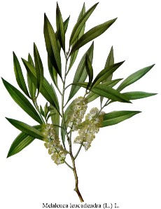 L'huile essentielle d'arbre à thé (melaleuca alternifolia)